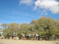 Αρμυρίκια στην παραλία τής Σαρωνίδας