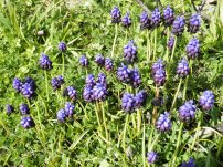 Muscari botryoides στην περιοχή τής Αγίας Φωτεινής / 9-2-2013