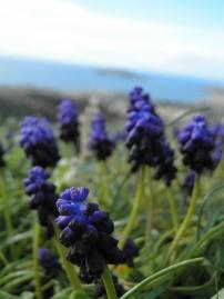 Muscari botryoides στην περιοχή τής Αγίας Φωτεινής, με φόντο το νησί Αρσίδα ή Αρζεντά ή Ελε(αι)ούσα / 9-2-2013