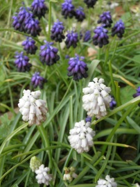 Muscari botryoides χρώματος μπλε και άσπρου στη Σαρωνίδα / 16-2-2013