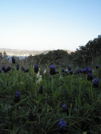 Muscari botryoides άσπρα και μπλε στο λόφο τού Αγίου Νικολάου στην Ανάβυσσο / 24-2-2013