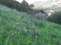 Muscari botryoides ανάμικτα με άνθη από άγρια ρόκα στο λόφο τού Αγίου Νικολάου στην Ανάβυσσο / 24-2-2013